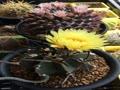 水牛大鳳玉の開花